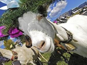 """desmontegada1 300x225 Arrivano le """"desmontegade de le caore e de le vache"""". Cavalese e Predazzo in festa con una serie di appuntamenti golosi."""