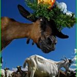 """capra di fiemme 150x150 Arrivano le """"desmontegade de le caore e de le vache"""". Cavalese e Predazzo in festa con una serie di appuntamenti golosi."""