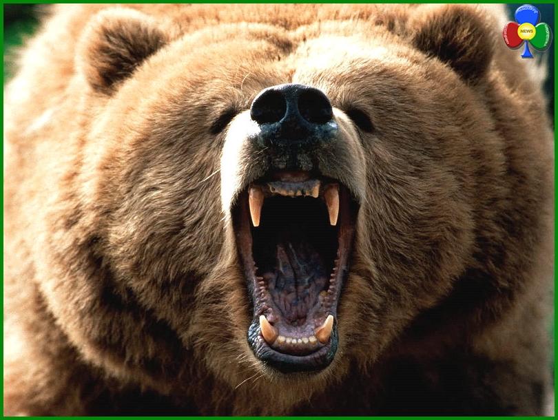 """orso trentino Sfida uomo orso a Cavalese   Aperta """"La Caccia all'Orso"""""""