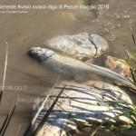 trota morta in avisio per svaso diga pezze 2016 150x150 La strage di alberi in Valle di Fiemme