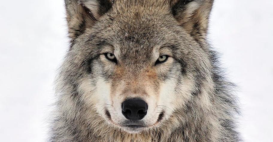 lupo Il ritorno del lupo in Val di Fiemme, incontro a Cavalese