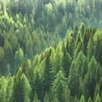 abeti bosco 150x150 Grazie, Spelacchio! Lettera della Val di Fiemme