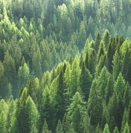 abeti bosco