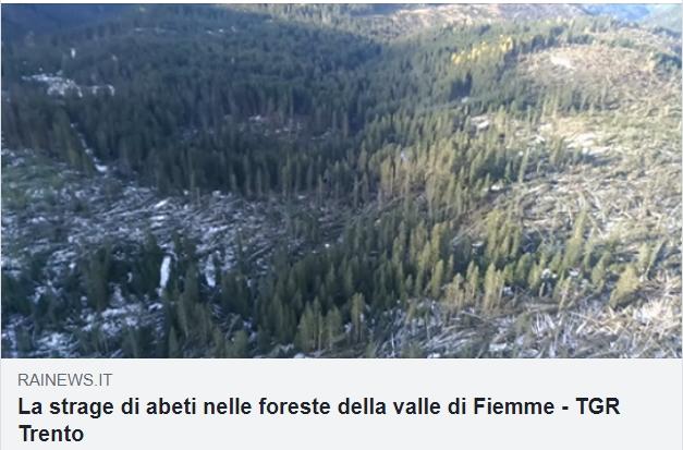 abeti rai news La strage di alberi in Valle di Fiemme