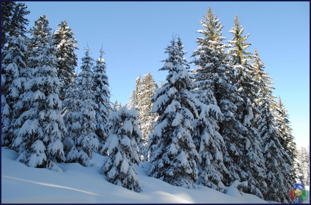 abete di fiemme 1024x673 Val di Fiemme, gli alberi della musica diventano un regalo di Natale